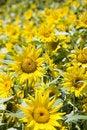 Free Sunflowers Royalty Free Stock Photo - 4684805
