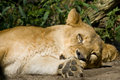 Free Resting Lioness Royalty Free Stock Photos - 4685088