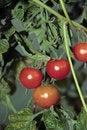 Free Juicy Tomatoes Stock Image - 4685411