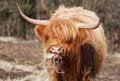 Free Highland Cow Stock Photos - 4685833