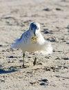 Free Seagull Close-up Stock Photo - 4686090