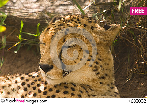 Free A Cheetah Lying In The Shade Stock Photography - 4683002