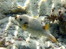 Blackspotted Puffer With Labroides Dimidiatus Stock Photos
