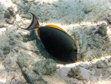 Free Unicornfish : Naso Tang Royalty Free Stock Photos - 4680058