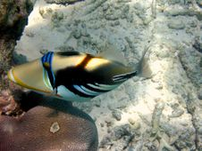 Blackbar Triggerfish Stock Photo