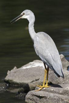Free Heron Stock Image - 4680081