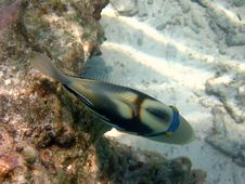 Free Another Side Of Triggerfish Stock Photography - 4680082