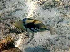 Free Another Blackbar Triggerfish Stock Images - 4680084