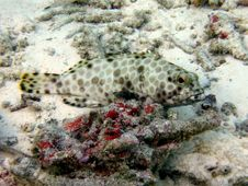 Free Fat Arabian Grouper Royalty Free Stock Photos - 4680108
