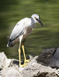 Free Heron Just Caught Fish Stock Photography - 4680162