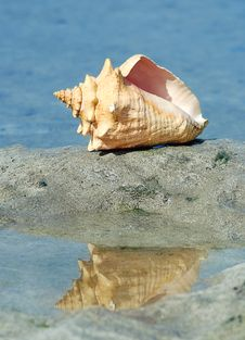 Free Cockle-shell Royalty Free Stock Photography - 4680197