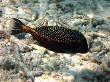 Free Spotted Boxfish Stock Photos - 4680283