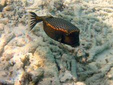 Free Black Spotted Boxfish Royalty Free Stock Image - 4680306