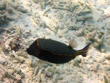 Free Fish : Black Spotted Boxfish Royalty Free Stock Image - 4680326