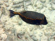 Free Fish : Spotted Boxfish Stock Image - 4680361