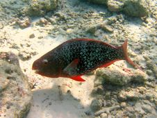 Ember Parrotfish In Maldives Royalty Free Stock Photography