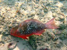Free Ember Parrotfish Stock Image - 4680491