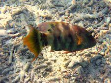 Fish : Tordo Royalty Free Stock Images