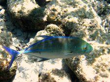 Free Big Bluefin Trevally Royalty Free Stock Photos - 4680538