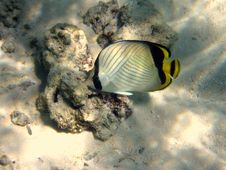 Free Blackback Butterflyfish Royalty Free Stock Photo - 4681005