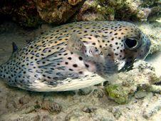 Free Fish : Porcupinefish Royalty Free Stock Image - 4681026