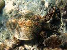 Brown Hawksbill Turtle Stock Photography