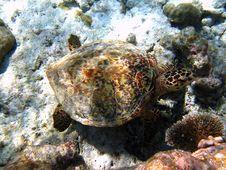 Free Hawksbill Turtle 2 Stock Photo - 4681060