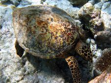 Big Hawksbill Turtle Royalty Free Stock Photo