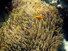 Free Maldive Anemonefish Stock Photo - 4681120