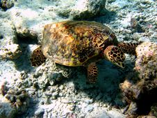 Free Hawksbill Turtle Stock Image - 4681151