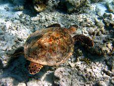 Free Hawksbill Turtle Royalty Free Stock Photos - 4681198