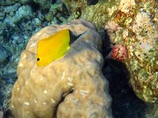 Free Longnose Butterflyfish Royalty Free Stock Images - 4681239