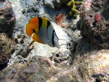 Free Fish : Double-Saddle Butterfly Stock Images - 4681244