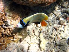 Emperor Angelfish Looking Me Stock Image