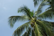 Free Coconut Palm. Stock Photo - 4681540