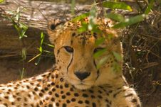 Free A Cheetah Lying In The Shade Royalty Free Stock Photography - 4682067