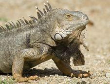 Free Mature Iguana Royalty Free Stock Photo - 4682245