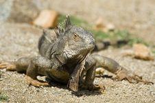 Free Mature Iguana Stock Images - 4682274