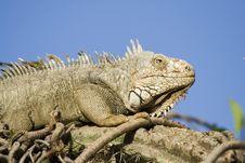 Free Mature Iguana Basking In The Sun Royalty Free Stock Image - 4682336