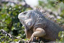 Free Mature Iguana Basking In The Sun Royalty Free Stock Photo - 4682405