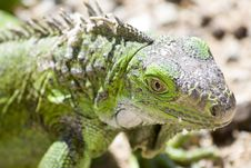 Free Young Iguana Royalty Free Stock Photos - 4682418