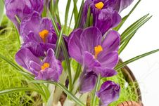 Violet Crocuses Royalty Free Stock Photo