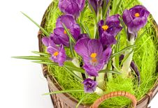 Free Violet Crocuses In A Pot Stock Photo - 4682450