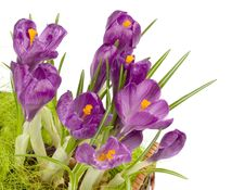 Violet Crocuses Royalty Free Stock Photos