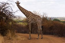 Free A Lone Giraffe Royalty Free Stock Photography - 4682527