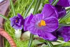 Free Violet Crocuses Stock Image - 4682531