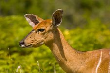 Free Head And Shoulders Of A Female Kudu Royalty Free Stock Images - 4682629