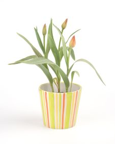 Free Tulips In A Pot Stock Photos - 4682643