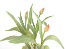 Free Tulips In A Pot Stock Image - 4682651