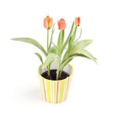 Free Tulips In A Pot Stock Image - 4682661